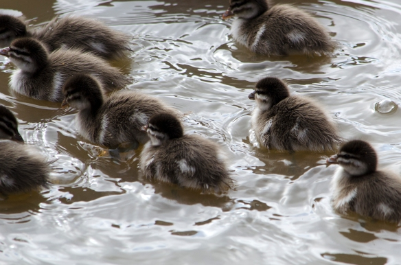 Ducklings swimming close up