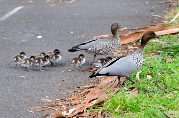 Mother and father ducks with chicks crossing a bike path