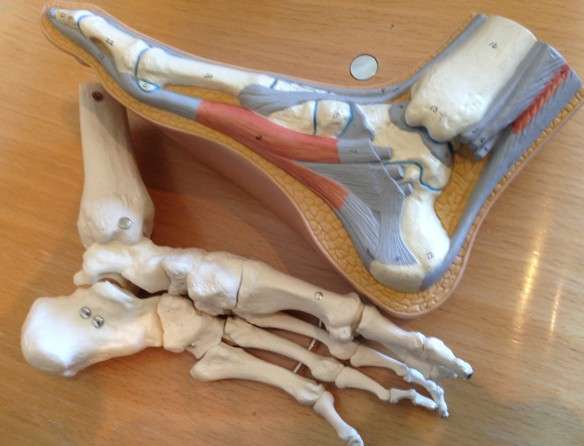 Medical models of two feet, one with veins and tendons on cross section, and the other a skeleton